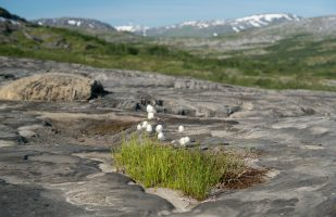 Cotton grass growing on rocks