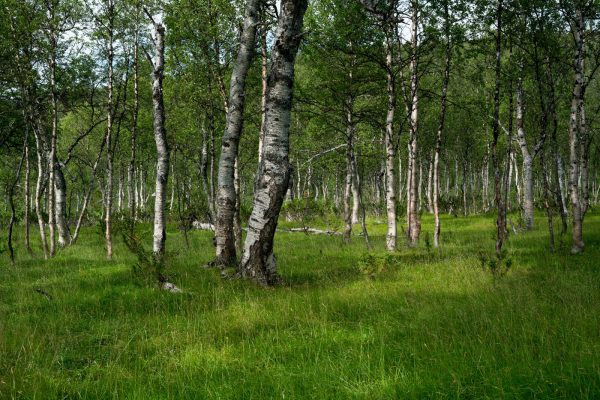Birch forest in Tverrådalen