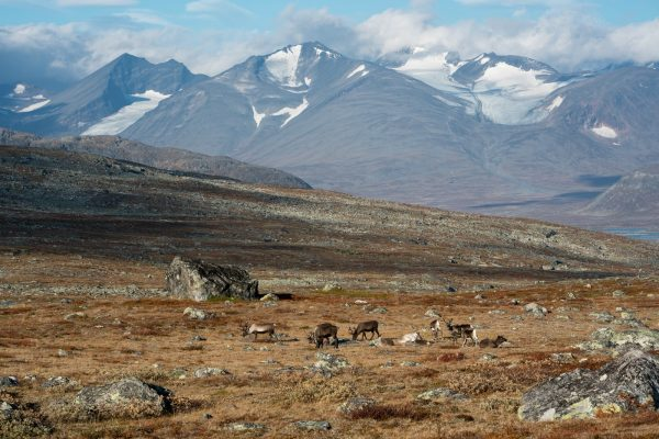 Reindeer herd with the Sarek peaks in the background