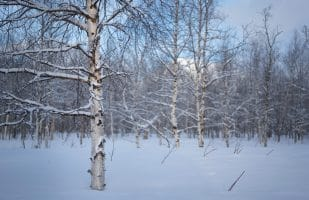 Wintry birch forest
