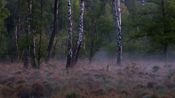 Birch trees and morning mist