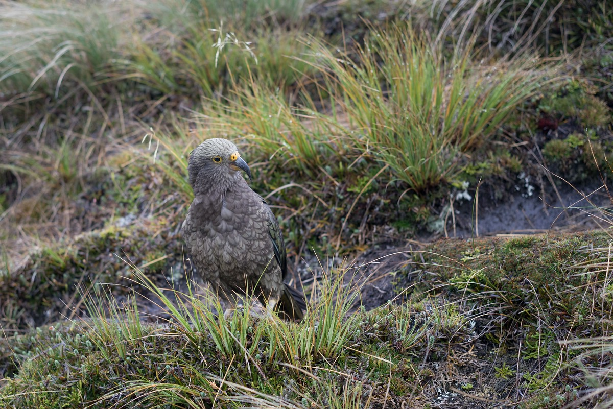Kea near Lake Roe Hut